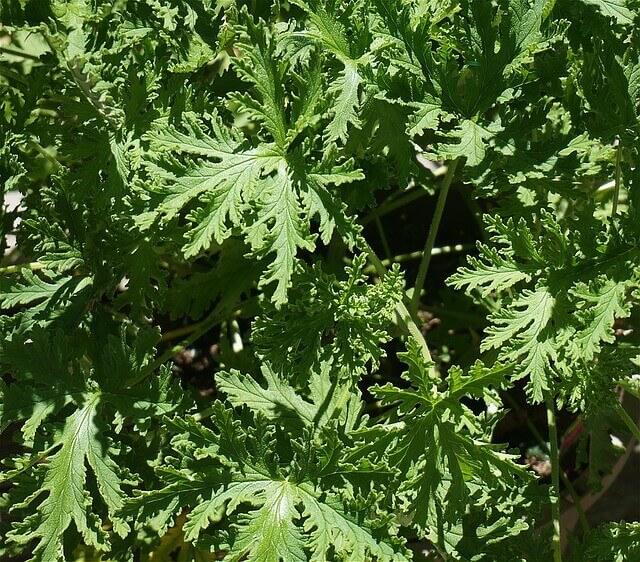 mosquito-repellent-plants